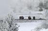 Three Bison, Winter, Biscuit Basin, Yellowstone National Park, Wyoming, USA, North America