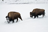 Winter, Bison, Moves head side to side to push away snow to get at vegetation to eat, Yellowstone National Park, Wyoming, USA, North America