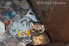 Marten, aka Pine Marten, Martes americana,  in a dumpster, Winter, Yellowstone National Park, Wyoming, USA, North America