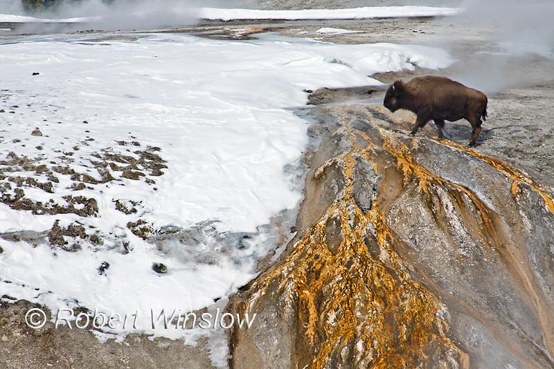 Bison, Winter, Upper Geyser Basin, Yellowstone National Park, Wyoming, USA, North America