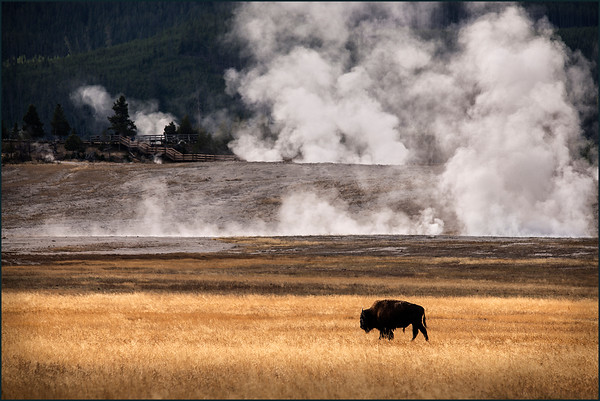 Single Bison and Geysers