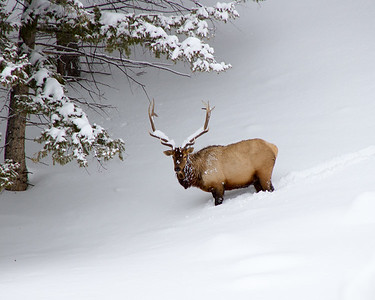 Snow-covered Elk