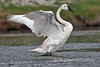 Trumpeter Swan, Cygnus buccinator, Firehole River, Yellowstone National Park, Wyoming, USA, North America