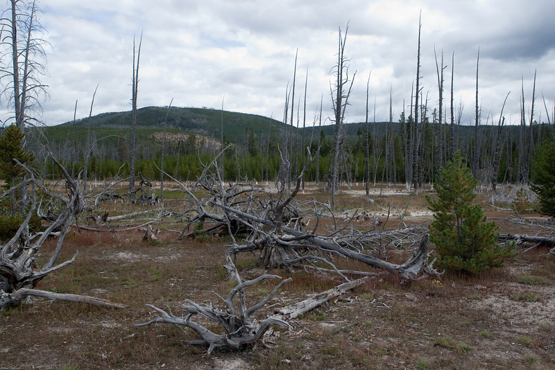 4M9F8192-1. Artist Paint Pots area of Yellowstone.  The landscape is shaped by geologically active thermals and fire. In the background are Lodgepole Pines partially burned by fire.