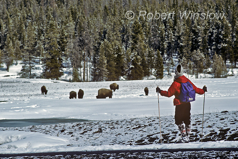 MR, Woman, Cross-country Skiing, bison, Winter, Old Faithful area, Upper Geyser Basin, Yellowstone National Park, Wyoming, USA, North America