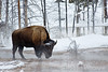 Winter, Bison, Thermal Area, Water in three states, Upper Geyser Basin, Yellowstone National Park, Wyoming, USA, North America