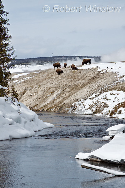Five Bison (Bison bison), Water in three states, Winter, Firehole River, Upper Geyser Basin, Yellowstone National Park, Wyoming, USA, North America