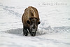 Winter, Bison, Moves head side to side to push away snow to get at vegetation to eat, Madison Area, Yellowstone National Park, Wyoming, USA, North America