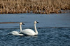 Pair of Yrumpeter Swans