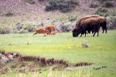 Bison Calf At Play