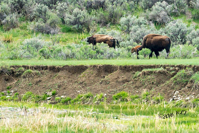 Bison Alone The Riverbank
