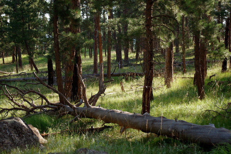 Open pine forest, viewed from the trail around Devil's Tower, South Dakota.