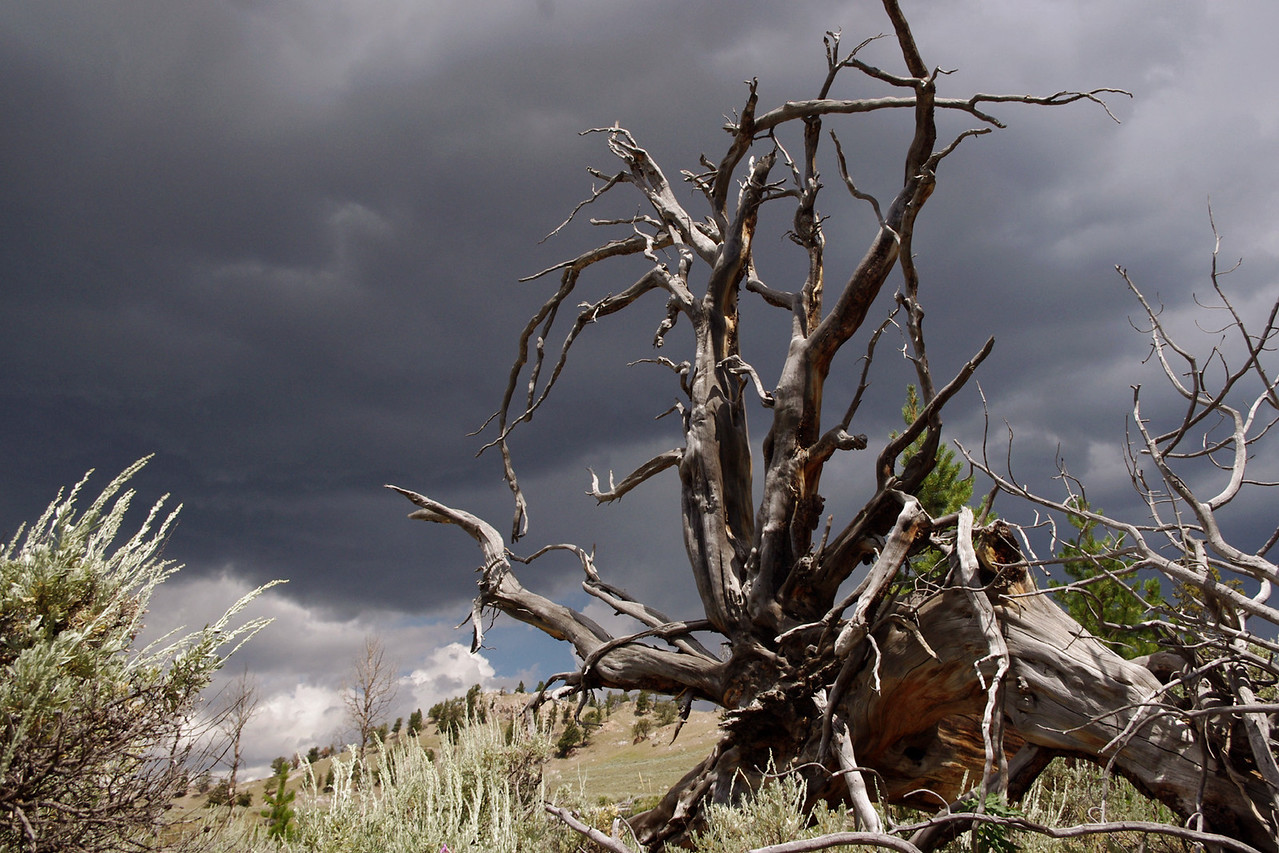 Sun-bleached tree roots against the storm-gray sky. Self guided nature trail at Yellowstone National Park.