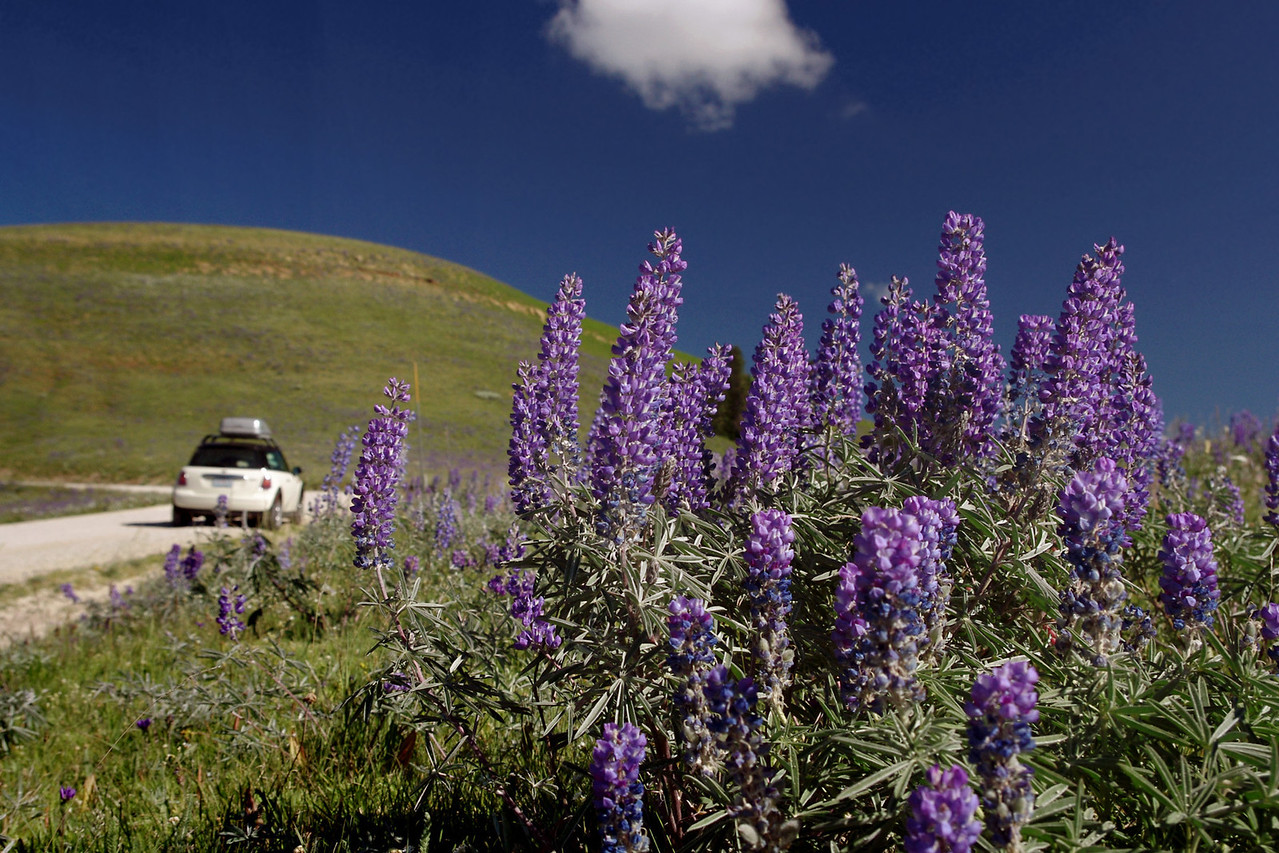 Turning north from the excellent Wyoming 14A, we seek the Medicine Wheel. <br /> But first, we stop to enjoy these lupines.