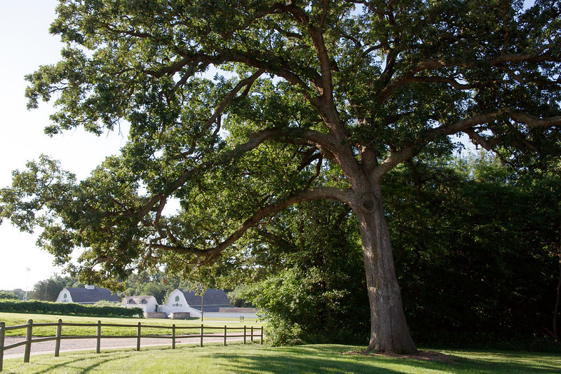 Big tree, Arbor Lodge State Historical Park and Arboretum, Nebraska City, Nebraska.