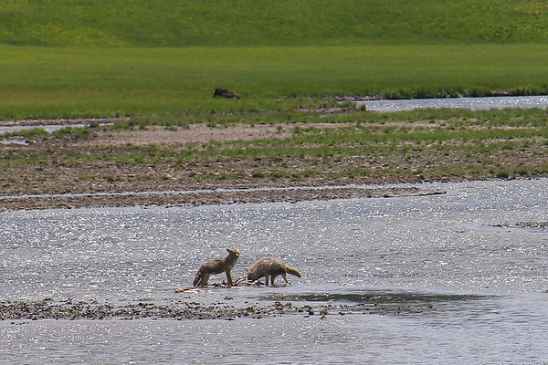 Two coyotes feeding on an Elk.  The Sow Grizzly Bear is in the grass with her three cubs.