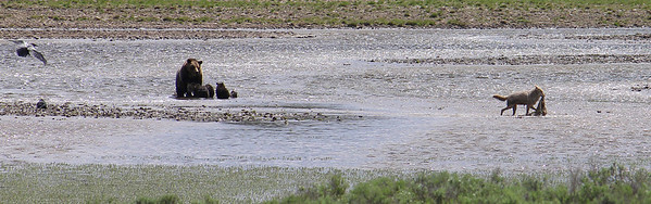 Coyote takes his meal into the meadow.  This was taken around 3:30 pm July 1.