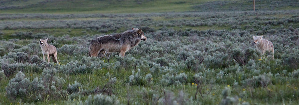 The coyotes howl, but think the better of it and slowly back away.