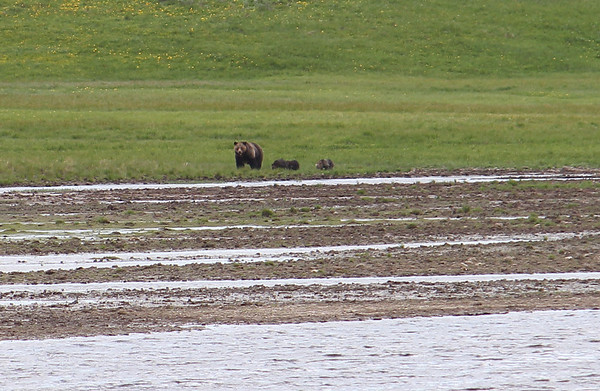 Grizzly sow and three cubs.