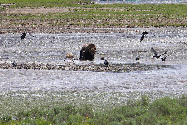 Keep in mind that the bear weighs about 600 or 700 pounds and the coyote only weighs about 35 pounds.  But he's very confident in his ability to evade her.