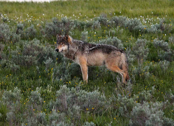 The wolf stands about 25 yards away from us after convincing the coyotes to back off.