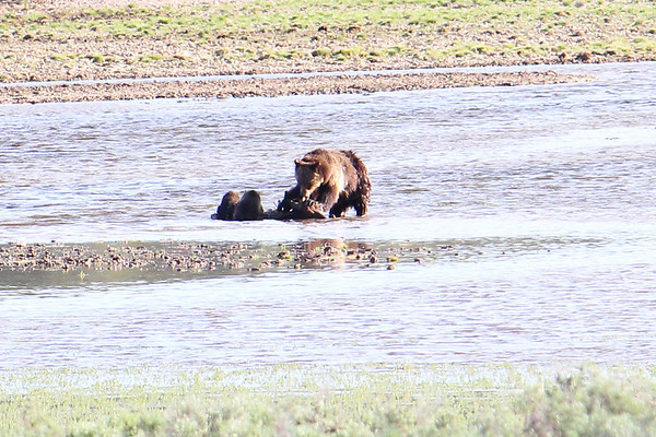 We returned around 7 pm and the Grizzlies were still feeding on the elk.