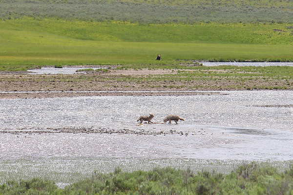 When we first came upon the scene, the two coyotes were feeding on the elk, with the Grizzly bear watching from the meadow.