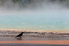 Crow at Grand Prismatic Spring, Midway Geyser Basin, Yellowstone