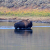 2020-09-16_28_Yellowstone_Bison Crossing River.JPG<br /> <br /> A solo bison swam across the river in the Hayden Valley