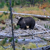 2020-09-16_33_Yellowstone_Grizzly Bear.JPG<br /> <br /> We came across a major traffic jam and figured out that everyone was watching this grizzly bear as he was digging for bugs
