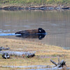 2020-09-16_24_Yellowstone_Bison Crossing River.JPG<br /> <br /> A solo bison swam across the river in the Hayden Valley