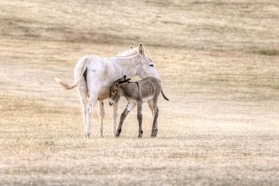Free ranging Donkeys - Black Hills SD