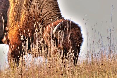 Buffalo in South Dakota