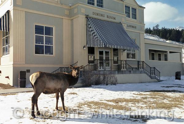 085 Yellowstone2006 Day4 Jan24 elk Mammoth Hot Springs