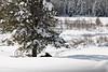 029 Yellowstone2006 Day3 Jan23 moose resting