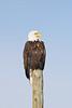 018 Yellowstone2006 Day2 Jan22 bald eagle at Elk Refuge