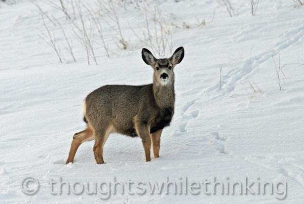 021 Yellowstone2006 Day2 Jan22 deer near Natl Museum Wildlife Art