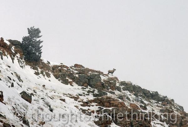 006 Yellowstone2006 Day2 Jan22 bighorn sheep Elk Refuge