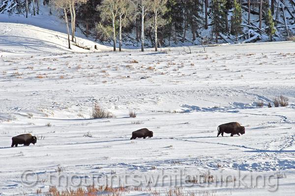 106 Yellowstone2006 Day5 Jan25 bison Lamar Valley