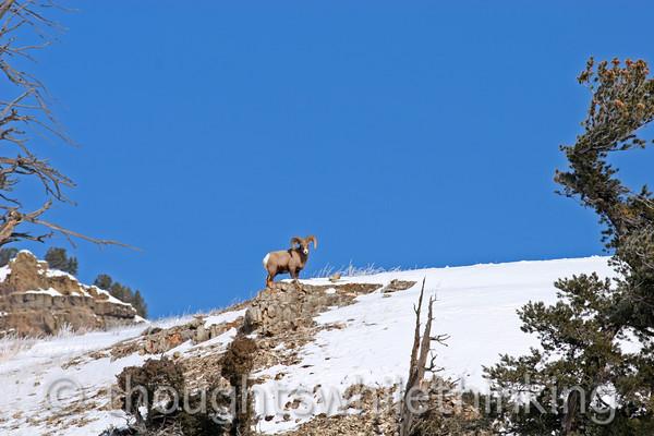 097 Yellowstone2006 Day5 Jan25 bighorn sheep Lamar Valley