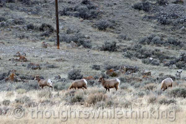 135 Yellowstone2006 Day6 Jan26 mountain goats near Gardiner MT