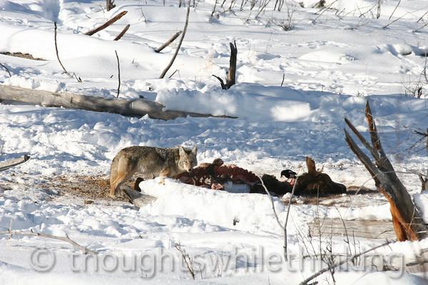 118 Yellowstone2006 Day6 Jan26 coyoye Lamar Valley