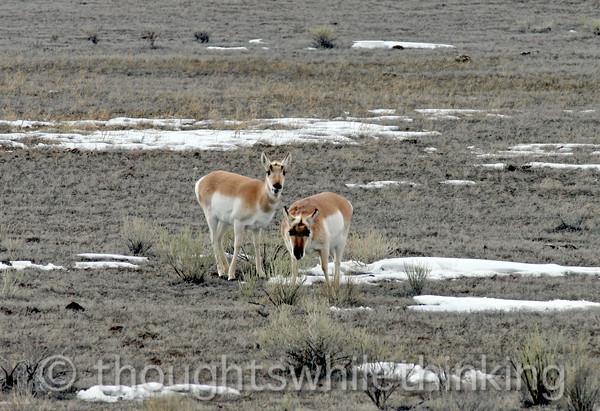 131 Yellowstone2006 Day6 Jan26 proghorn near Gardiner MT