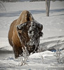 In winter, many Bison in Yellowstone look like this because they use their face to move snow away from underlying grass. They have a highly developed heat generation and retention system, and are very comfortable during normal Yellowstone winters.