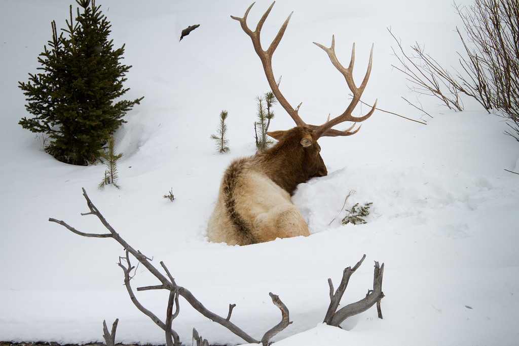 Sleeping elk, whose horns seem to mimic the branches in the foreground.