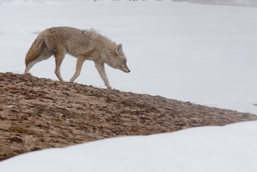 Coyote looks cold- in the upper geyser basin