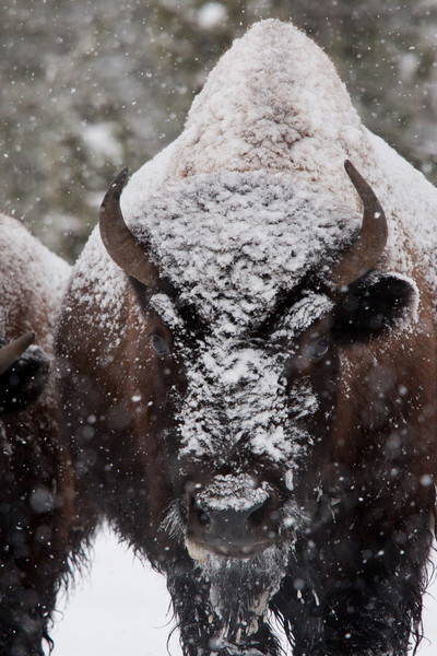 Bison don't seem to mind the cold. Though we didn't ask them. They liked to congregate around the warm thermal features