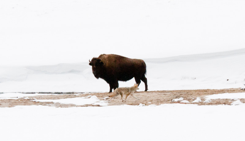 A coyote trots in front of a bison who seems not to care.