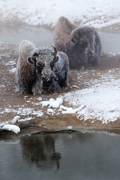 Bison sitting on warmer earth near a thermal feature