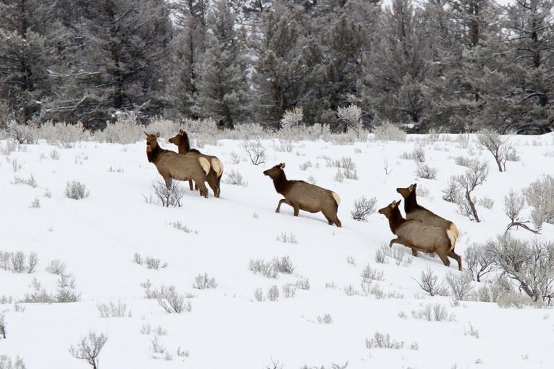 Elk in the Lamar valley